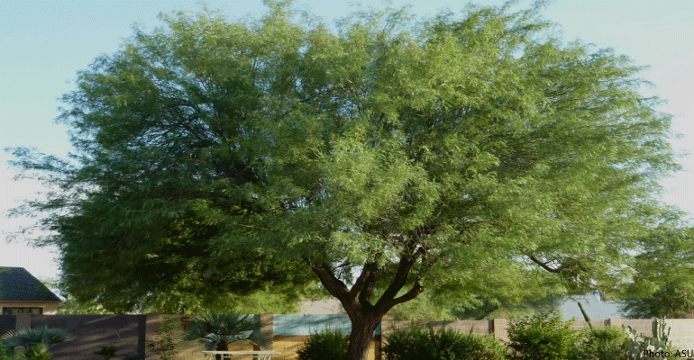 mesquite trees provide food fuel medicine and more arizona