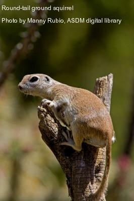 round-tailed