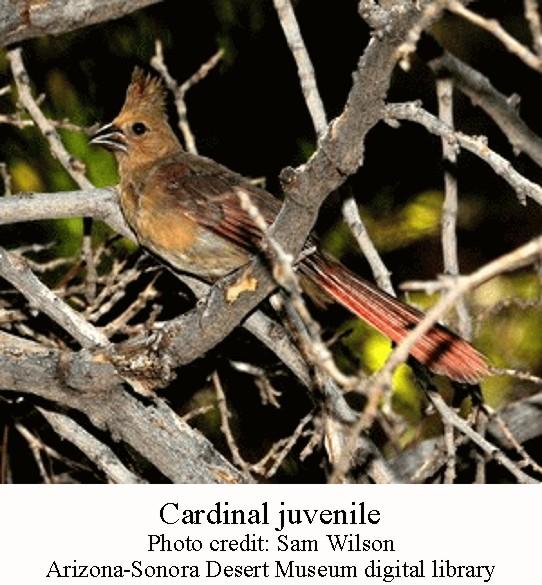 Cardinal juvenile