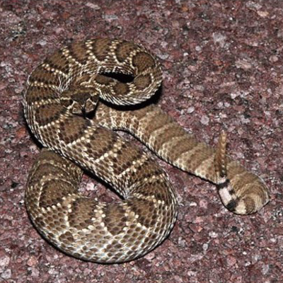 Mohave rattlesnake Photo credit: Gary Nafis Arizona-Sonora Desert Museum digital library