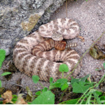Tiger rattlesnake Photo credit: Howard Byrne III Arizona-Sonora Desert Museum digital library