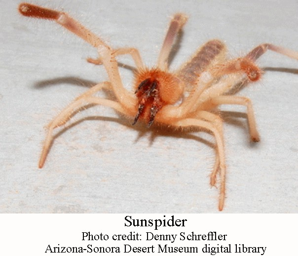 Vinegaroons and Sun Spiders – Arizona Daily Independent