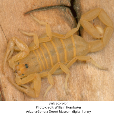 Bark scorpion bite - photo#18