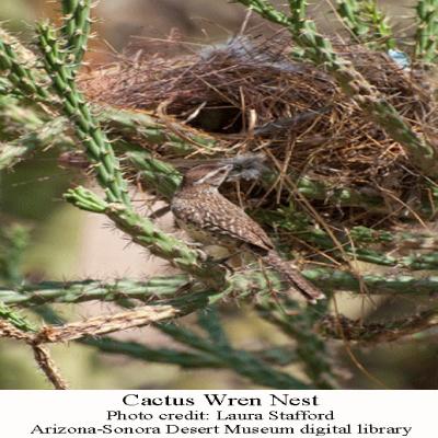 Cactus-Wren-nest