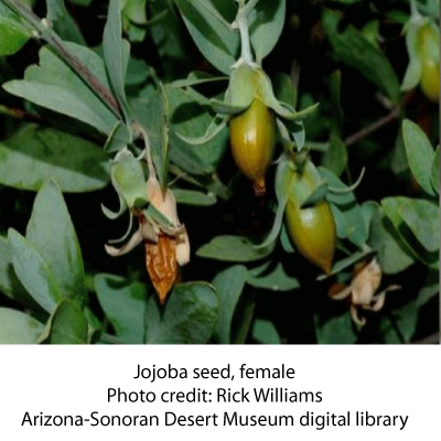 Jojoba-seed-female
