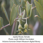 jojoba-female-flower