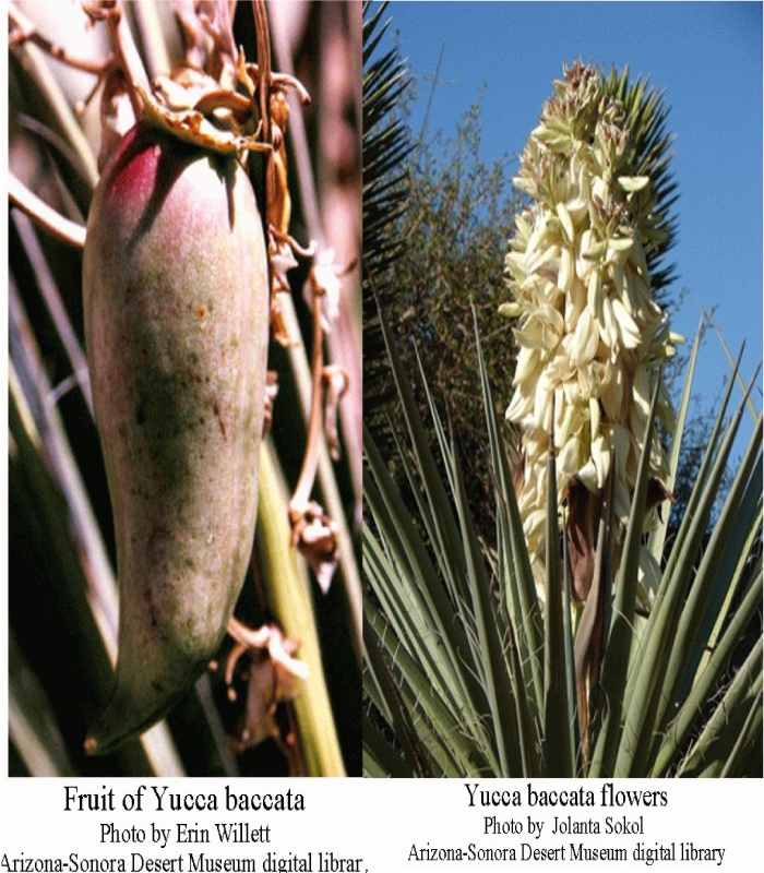 7x8Yucca-baccata-flowers-Fruit