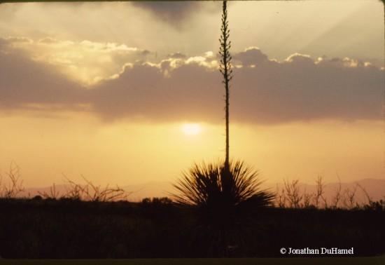 Sotol yucca sunset