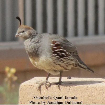 gambols-quail-f1