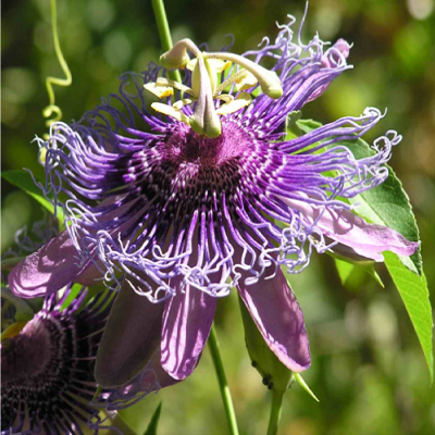 Passion Flowers Arizona Daily Independent
