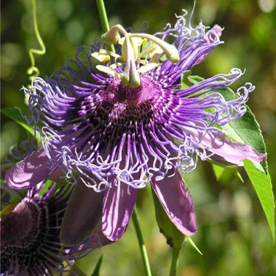 passion-flower-4x4
