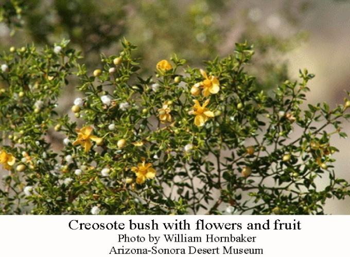 Creosote-bush-closeup