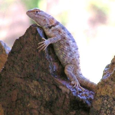 Spiny-lizard-female
