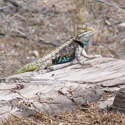 Spiny-lizard-male