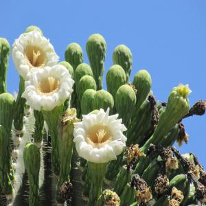 saguaro-flowers