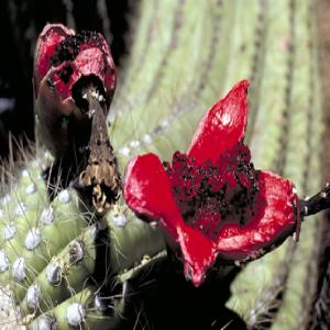 Saguaro fruit and seeds