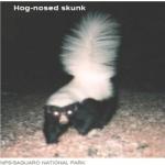 Hog-nosed