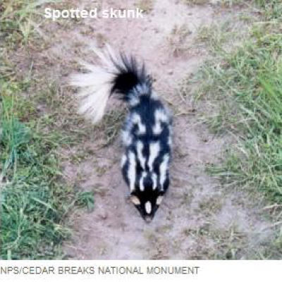 Night Skunks Of Arizona