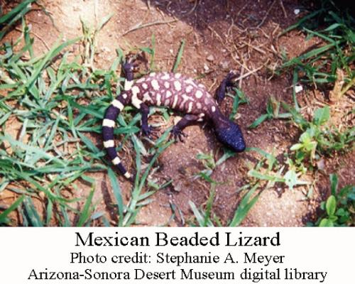 Mexican-Beaded-lizard