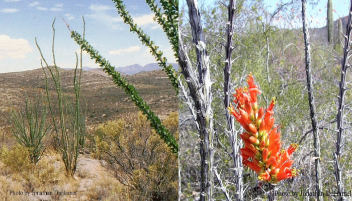 Ocotillo1-and-2