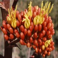 agave-3