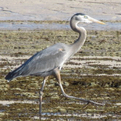 Great Blue Heron Photo by  xxxxxxxxx Arizona Sonora Desert Museum Digital Library
