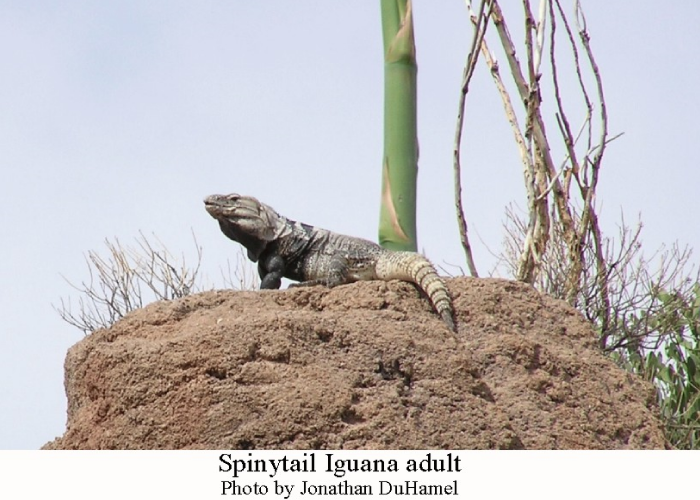 Spinytail-Iguana-adult