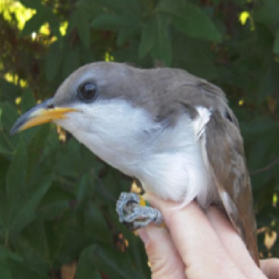 yellow-cuckoo-1