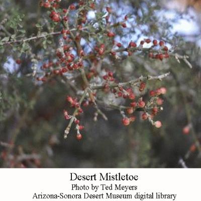 Desert-Mistletoe
