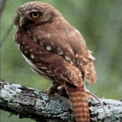 Pigmy Owl U.S.F.S.
