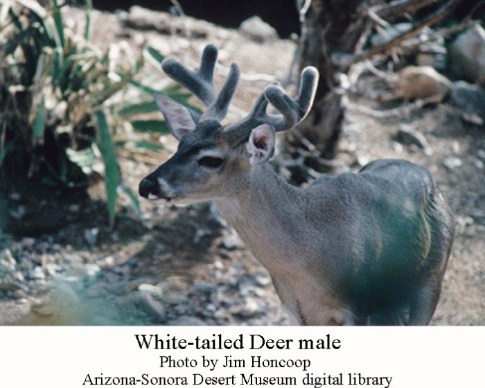 Desert Whitetail Deer Worksheet Coloring Pages