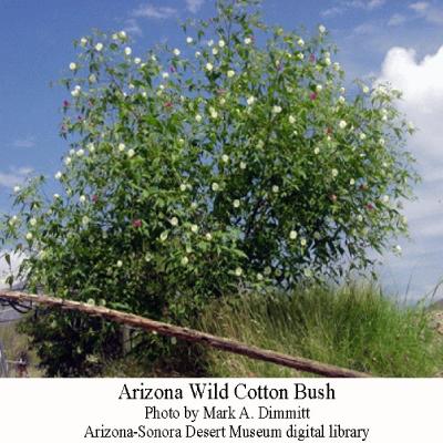 AZ-wild-cotton-bush