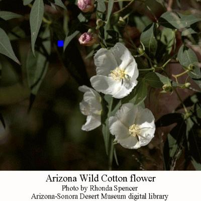AZ-wild-cotton-flower
