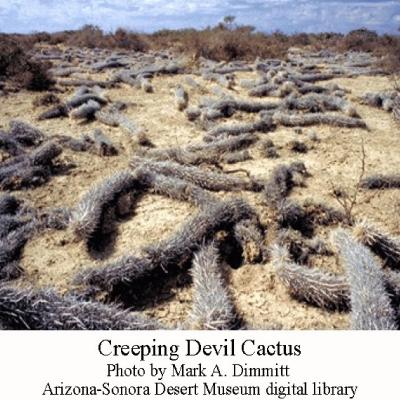 The Creepy Creeping Devil Cactus Arizona Daily Independent