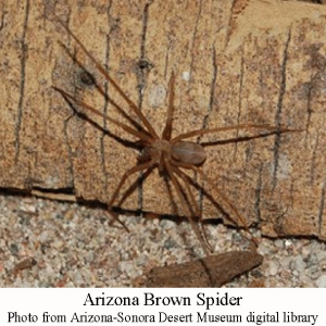 Arizona-brown-spider