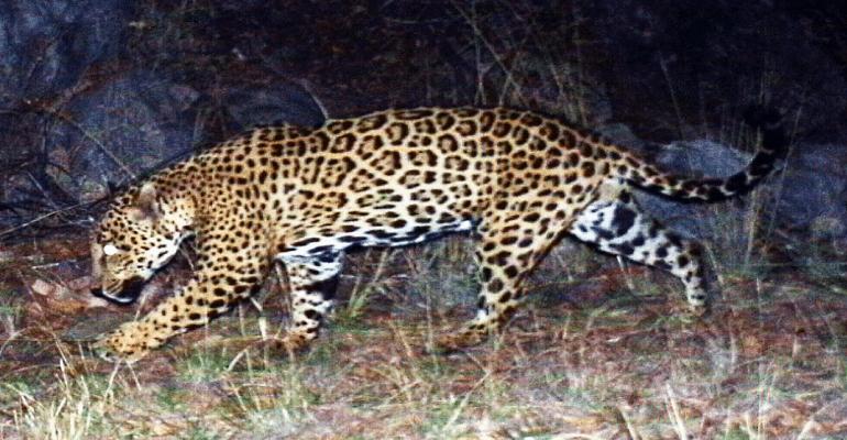 center for biological diversity lied about gender of jaguar
