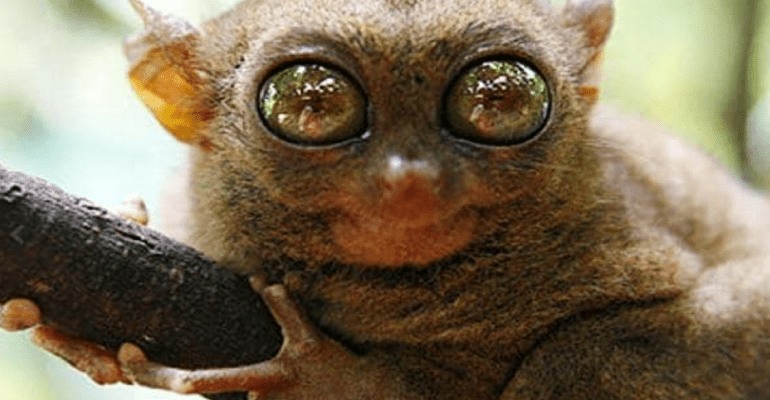 pygmy-tarsier1