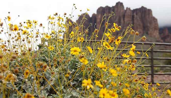 Brittlebush-flower-3-800