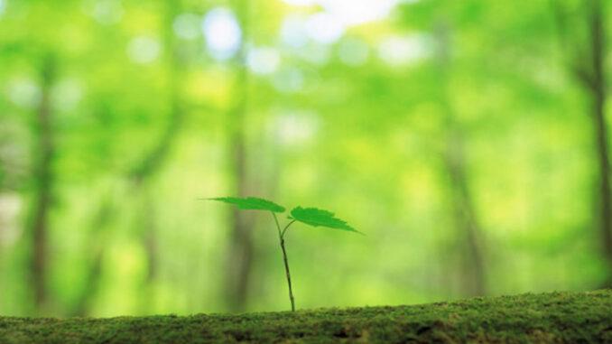 sapling tree