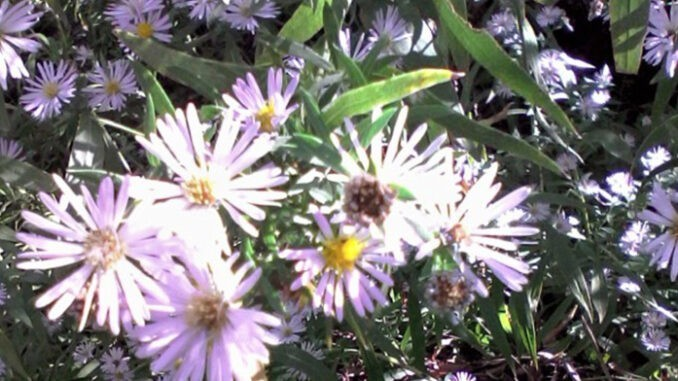 Panicled Aster