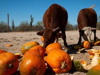 cows eating pumpkins