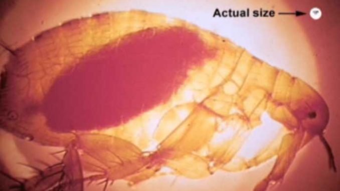 Fleas Test Positive For Plague In Coconino County Arizona Daily Independent
