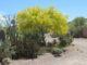 Blue Palo Verde